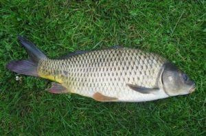 Разрешено ли провозить рыбу в ручной клади